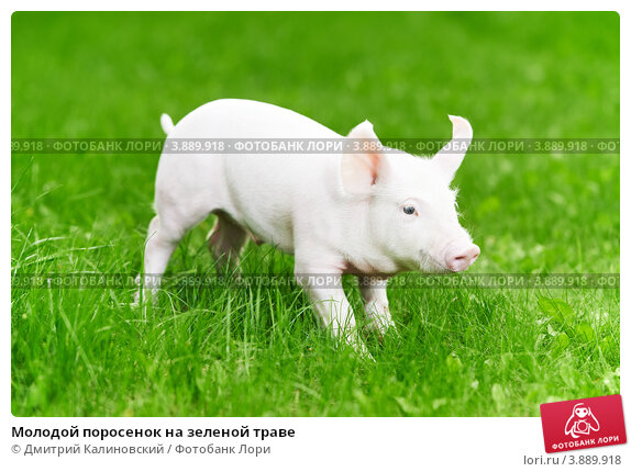 Купить «Молодой поросенок на зеленой траве», фото № 3889918, снято 30 августа 2012 г. (c) Дмитрий Калиновский / Фотобанк Лори