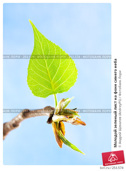 Молодой зеленый лист на фоне синего неба, фото № 253574, снято 17 апреля 2008 г. (c) Андрей Щекалев (AndreyPS) / Фотобанк Лори