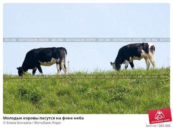 Молодые коровы пасутся на фоне неба, фото № 283306, снято 12 мая 2008 г. (c) Елена Блохина / Фотобанк Лори