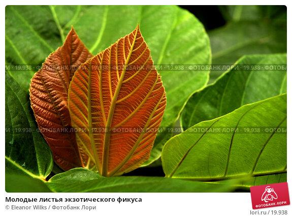 Молодые листья экзотического фикуса, фото № 19938, снято 19 марта 2007 г. (c) Eleanor Wilks / Фотобанк Лори