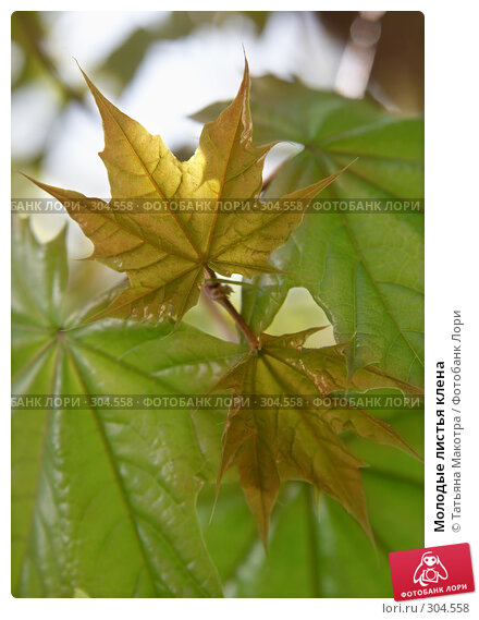 Молодые листья клена, фото № 304558, снято 29 апреля 2008 г. (c) Татьяна Макотра / Фотобанк Лори