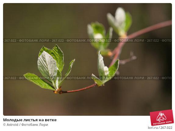Молодые листья на ветке, фото № 267022, снято 29 апреля 2008 г. (c) Astroid / Фотобанк Лори