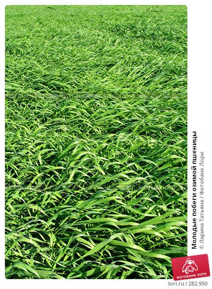 Молодые побеги озимой пшеницы, фото № 282950, снято 4 мая 2008 г. (c) Ларина Татьяна / Фотобанк Лори