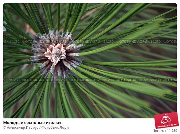 Купить «Молодые сосновые иголки », фото № 11230, снято 10 сентября 2006 г. (c) Александр Паррус / Фотобанк Лори