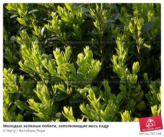 Молодые зеленые побеги, заполняющие весь кадр, фото № 67134, снято 24 апреля 2005 г. (c) Harry / Фотобанк Лори