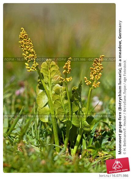 Купить «Moonwort grape-fern (Botrychium lunaria), in a meadow, Germany», фото № 16071986, снято 20 июля 2005 г. (c) age Fotostock / Фотобанк Лори