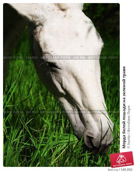 Морда белой лошади на зеленой траве, фото № 149950, снято 3 июня 2007 г. (c) hunta / Фотобанк Лори