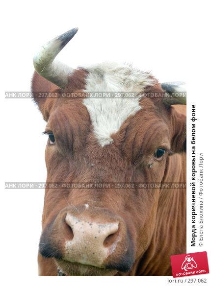 Морда коричневой коровы на белом фоне, фото № 297062, снято 21 мая 2008 г. (c) Елена Блохина / Фотобанк Лори