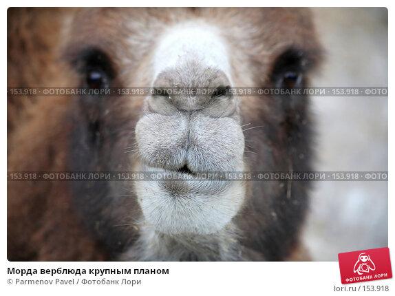 Морда верблюда крупным планом, фото № 153918, снято 11 декабря 2007 г. (c) Parmenov Pavel / Фотобанк Лори