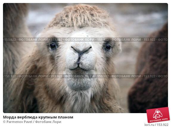 Морда верблюда крупным планом, фото № 153922, снято 11 декабря 2007 г. (c) Parmenov Pavel / Фотобанк Лори