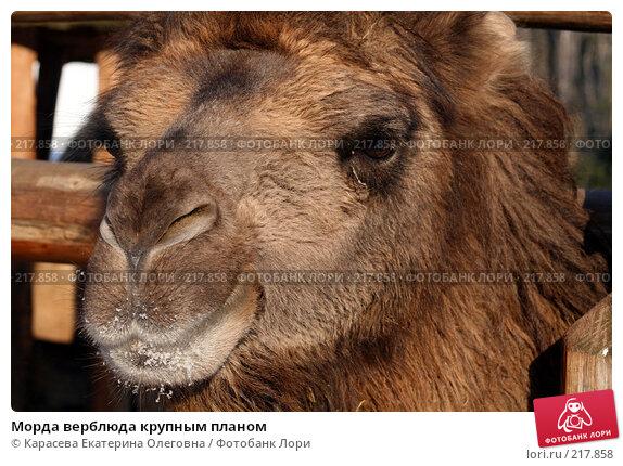 Морда верблюда крупным планом, фото № 217858, снято 5 февраля 2008 г. (c) Карасева Екатерина Олеговна / Фотобанк Лори