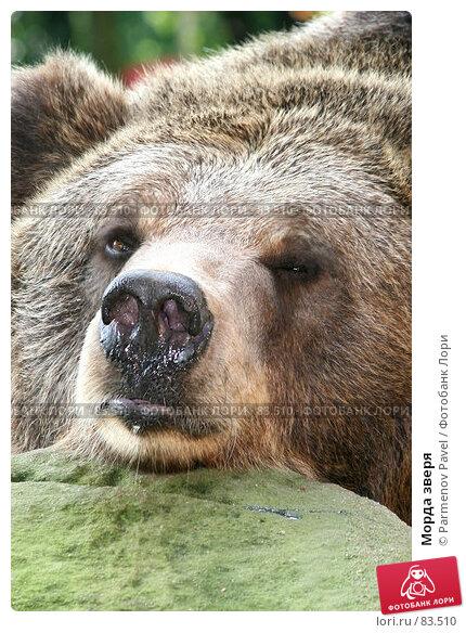 Морда зверя, фото № 83510, снято 3 сентября 2007 г. (c) Parmenov Pavel / Фотобанк Лори