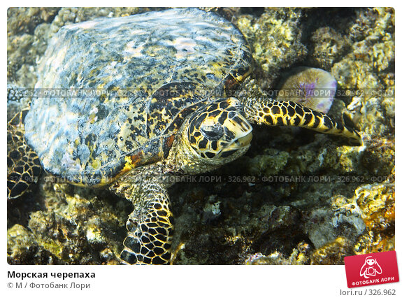 Морская черепаха, фото № 326962, снято 23 сентября 2017 г. (c) Михаил / Фотобанк Лори
