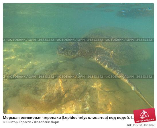 Морская оливковая черепаха (Lepidochelys оливачеа) под водой. Шри-Ланка. Стоковое фото, фотограф Виктор Карасев / Фотобанк Лори