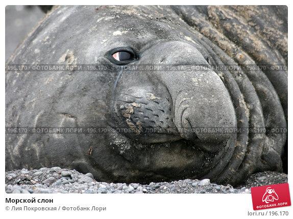 Морской слон, фото № 196170, снято 15 января 2008 г. (c) Лия Покровская / Фотобанк Лори