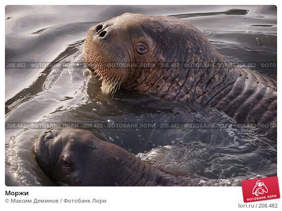 Купить «Моржи», фото № 208482, снято 6 октября 2007 г. (c) Максим Деминов / Фотобанк Лори