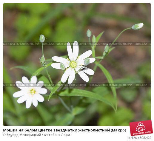 Мошка на белом цветке звездчатки жестколистной (макро), фото № 308422, снято 12 мая 2008 г. (c) Эдуард Межерицкий / Фотобанк Лори