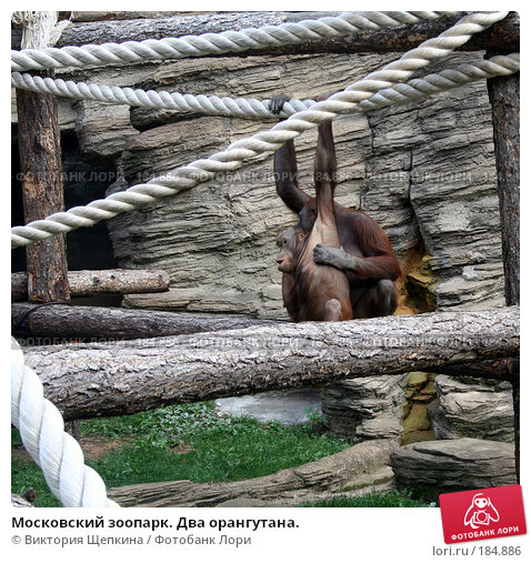 Московский зоопарк. Два орангутана., фото № 184886, снято 19 сентября 2007 г. (c) Виктория Щепкина / Фотобанк Лори