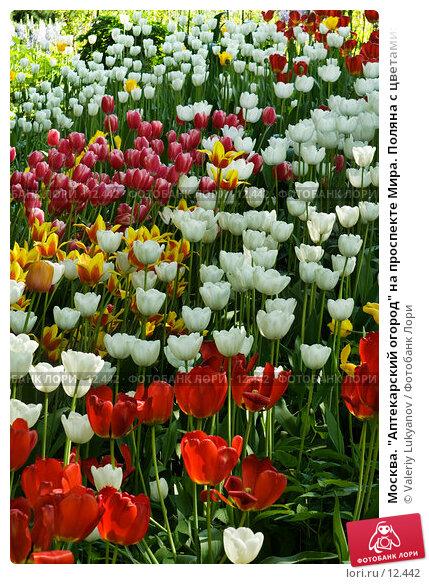 """Купить «Москва. """"Аптекарский огород"""" на проспекте Мира. Поляна с цветами: тюльпаны», фото № 12442, снято 26 мая 2006 г. (c) Valeriy Lukyanov / Фотобанк Лори"""