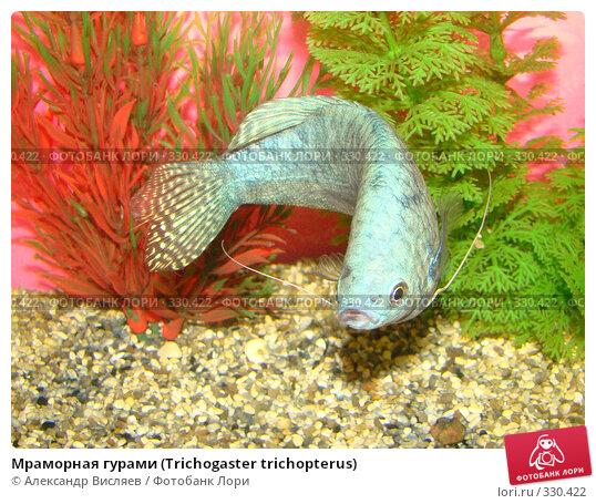 Купить «Мраморная гурами (Trichogaster trichopterus)», фото № 330422, снято 23 ноября 2017 г. (c) Александр Висляев / Фотобанк Лори