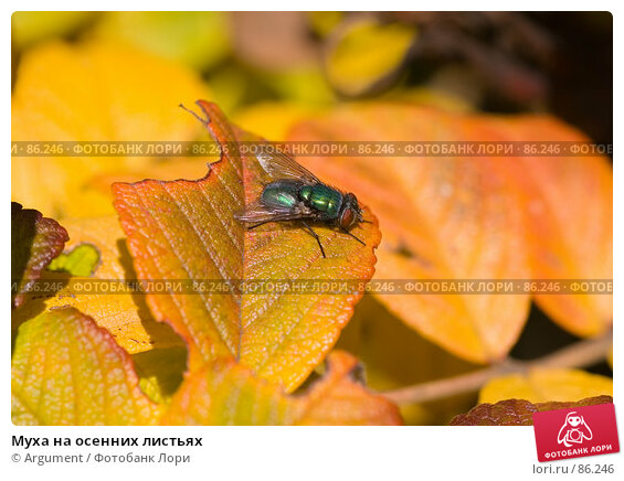 Муха на осенних листьях, фото № 86246, снято 20 сентября 2007 г. (c) Argument / Фотобанк Лори