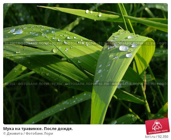 Муха на травинке. После дождя., фото № 92350, снято 10 июня 2007 г. (c) Дживита / Фотобанк Лори