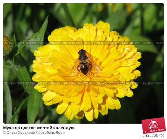 Муха на цветке желтой календулы, фото № 28490, снято 17 августа 2006 г. (c) Ольга Хорькова / Фотобанк Лори