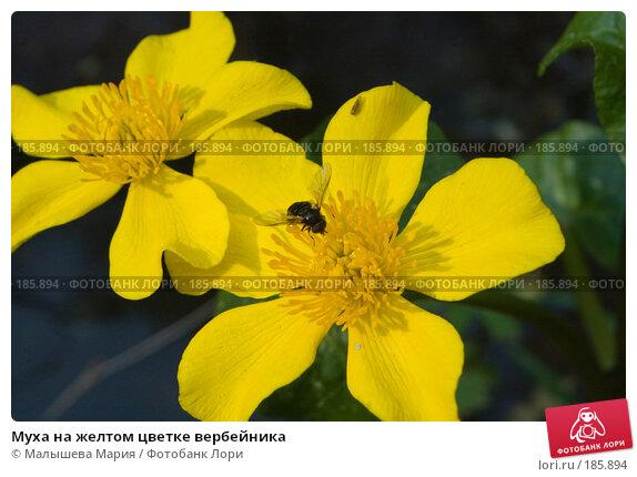 Муха на желтом цветке вербейника, фото № 185894, снято 26 мая 2007 г. (c) Малышева Мария / Фотобанк Лори