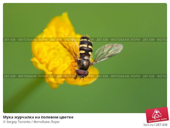 Купить «Муха журчалка на полевом цветке», фото № 287438, снято 2 мая 2008 г. (c) Sergey Toronto / Фотобанк Лори