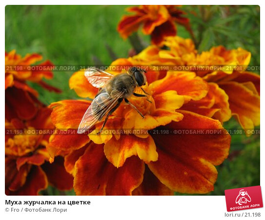 Купить «Муха журчалка на цветке», фото № 21198, снято 7 октября 2006 г. (c) Fro / Фотобанк Лори