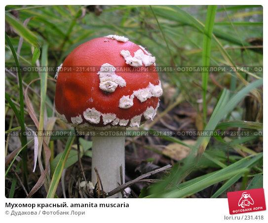 Мухомор красный. amanita muscaria, фото № 231418, снято 21 сентября 2007 г. (c) Дудакова / Фотобанк Лори