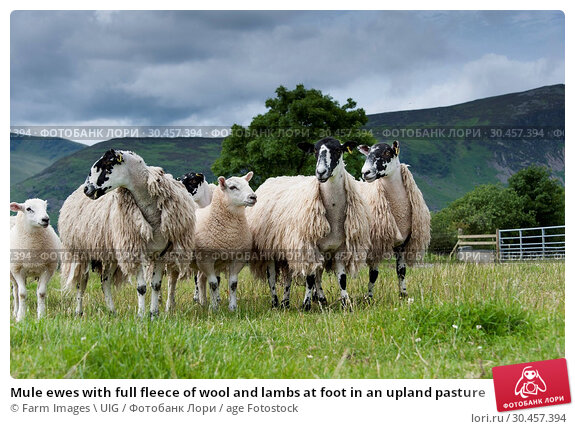 Mule ewes with full fleece of wool and lambs at foot in an upland pasture. Стоковое фото, фотограф Farm Images \ UIG / age Fotostock / Фотобанк Лори