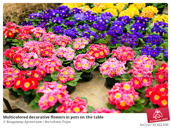 Купить «Multicolored decorative flowers in pots on the table», фото № 33422630, снято 15 февраля 2020 г. (c) Владимир Арсентьев / Фотобанк Лори