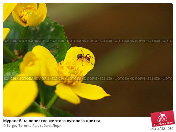 Купить «Муравей на лепестке желтого лугового цветка», фото № 321030, снято 2 мая 2008 г. (c) Sergey Toronto / Фотобанк Лори