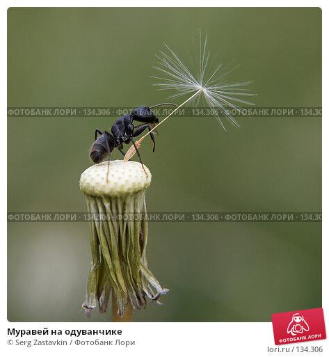 Муравей на одуванчике, фото № 134306, снято 2 июля 2006 г. (c) Serg Zastavkin / Фотобанк Лори