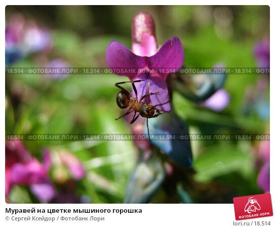 Муравей на цветке мышиного горошка, фото № 18514, снято 14 мая 2006 г. (c) Сергей Ксейдор / Фотобанк Лори