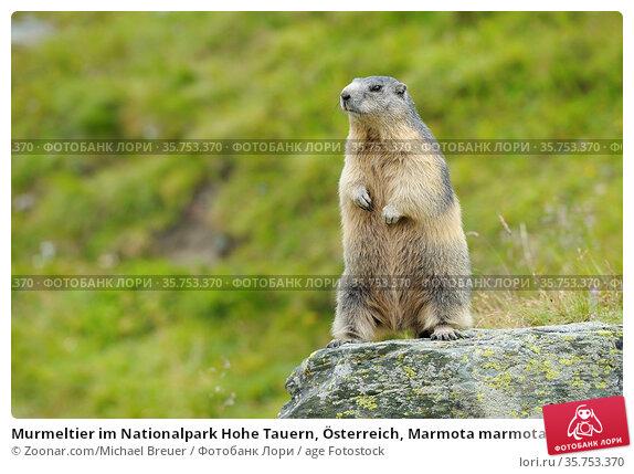 Murmeltier im Nationalpark Hohe Tauern, Österreich, Marmota marmota... Стоковое фото, фотограф Zoonar.com/Michael Breuer / age Fotostock / Фотобанк Лори