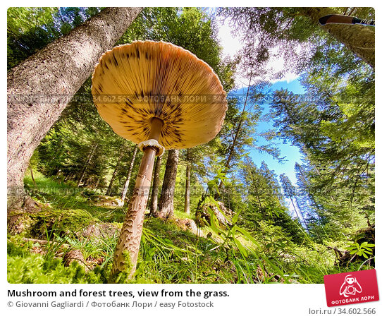 Mushroom and forest trees, view from the grass. Стоковое фото, фотограф Giovanni Gagliardi / easy Fotostock / Фотобанк Лори
