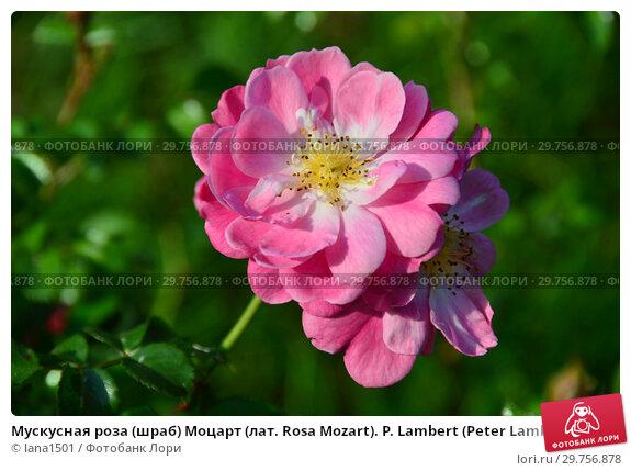 Купить «Мускусная роза (шраб) Моцарт (лат. Rosa Mozart). P. Lambert (Peter Lambert), Germany 1937», эксклюзивное фото № 29756878, снято 26 августа 2015 г. (c) lana1501 / Фотобанк Лори