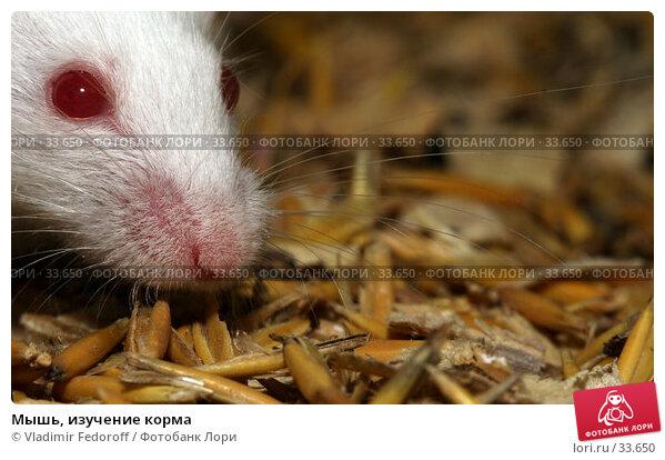 Мышь, изучение корма, фото № 33650, снято 17 апреля 2007 г. (c) Vladimir Fedoroff / Фотобанк Лори