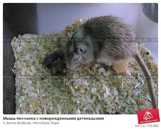 Мышь-песчанка с новорожденными детенышами, фото № 133402, снято 27 октября 2007 г. (c) Антон Алябьев / Фотобанк Лори
