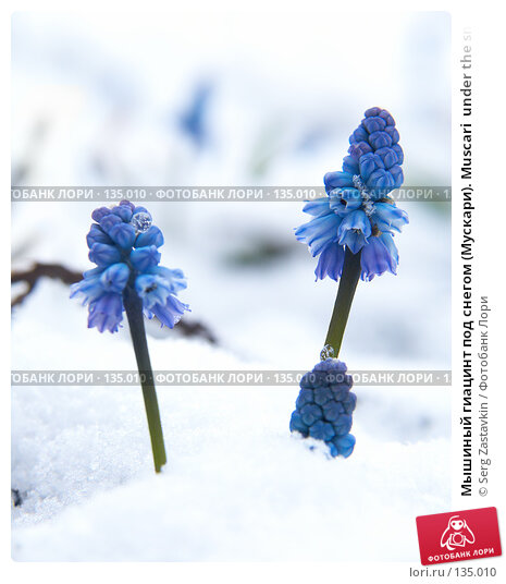 Купить «Мышиный гиацинт под снегом (Мускари). Muscari  under the snow», фото № 135010, снято 2 мая 2006 г. (c) Serg Zastavkin / Фотобанк Лори
