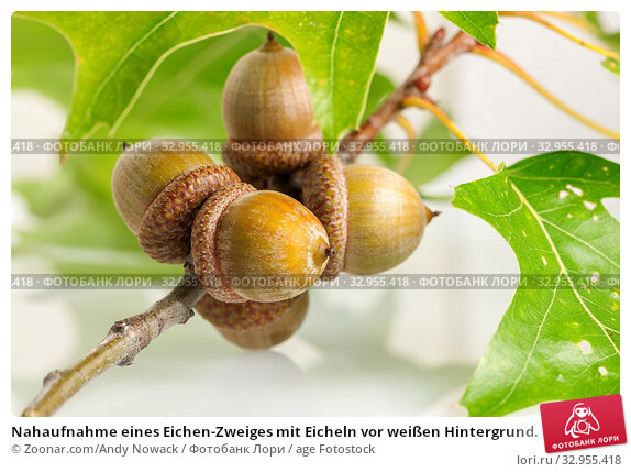 Nahaufnahme eines Eichen-Zweiges mit Eicheln vor weißen Hintergrund. Closeup of an oak branch with acorns in front of white Background. Стоковое фото, фотограф Zoonar.com/Andy Nowack / age Fotostock / Фотобанк Лори