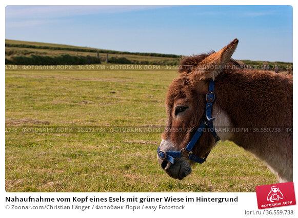 Nahaufnahme vom Kopf eines Esels mit grüner Wiese im Hintergrund. Стоковое фото, фотограф Zoonar.com/Christian Länger / easy Fotostock / Фотобанк Лори