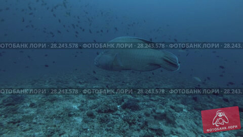 Купить «Napoleonfish or Humphead Wrasse swim in the blue water, Indian Ocean, Maldives», видеоролик № 28243578, снято 28 марта 2018 г. (c) Некрасов Андрей / Фотобанк Лори