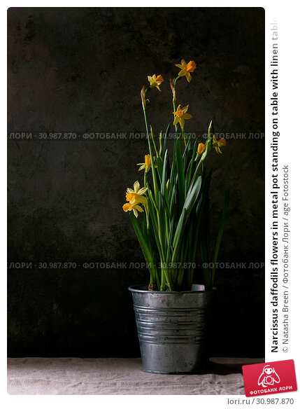 Купить «Narcissus daffodils flowers in metal pot standing on table with linen tablecloth. Dark still life. Copy space», фото № 30987870, снято 17 июля 2019 г. (c) age Fotostock / Фотобанк Лори