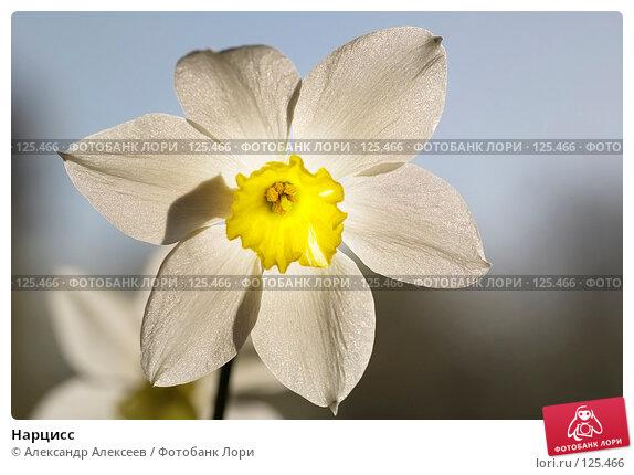 Нарцисс, эксклюзивное фото № 125466, снято 13 мая 2007 г. (c) Александр Алексеев / Фотобанк Лори