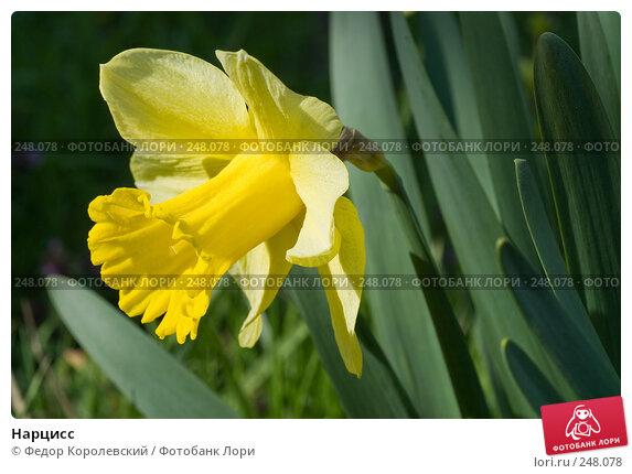 Купить «Нарцисс», фото № 248078, снято 10 апреля 2008 г. (c) Федор Королевский / Фотобанк Лори