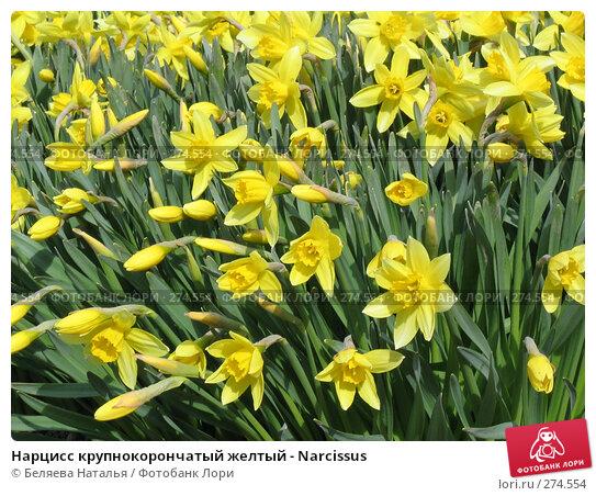 Нарцисс крупнокорончатый желтый - Narcissus, фото № 274554, снято 20 мая 2006 г. (c) Беляева Наталья / Фотобанк Лори