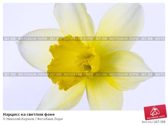 Нарцисс на светлом фоне, фото № 267358, снято 29 марта 2008 г. (c) Николай Коржов / Фотобанк Лори